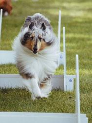 Roper flyball jumps