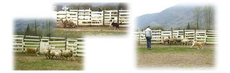 herding1