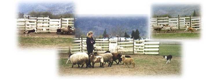 herding3
